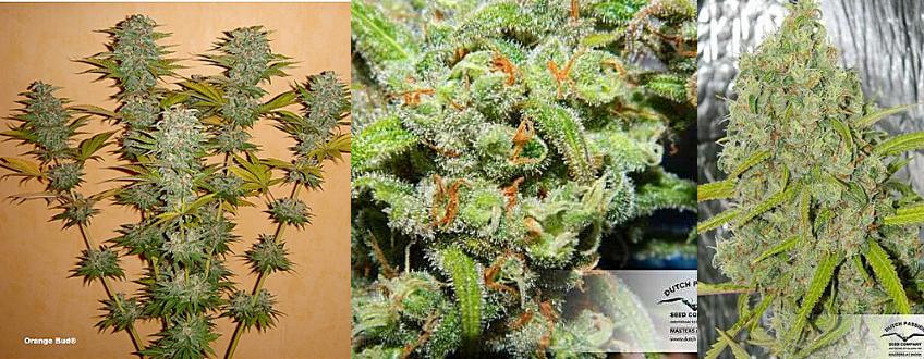 orange bud sativa strain