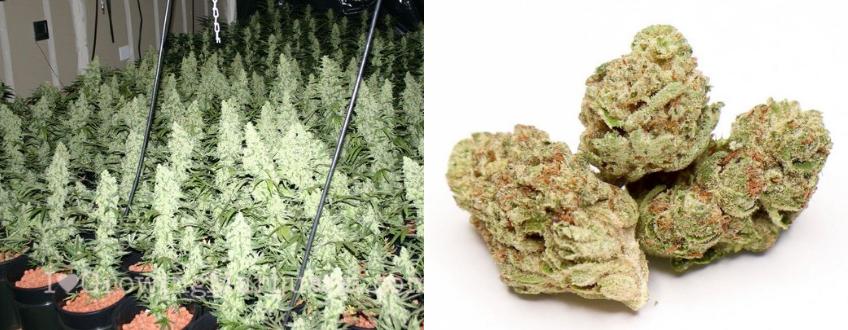 bigest yielding cannabis
