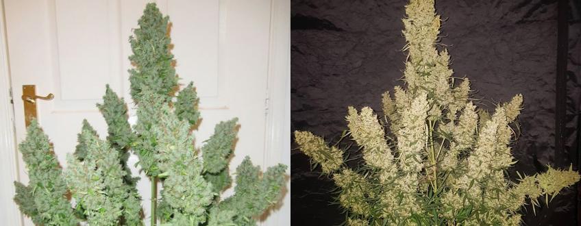high yielding cannabis strains 2021