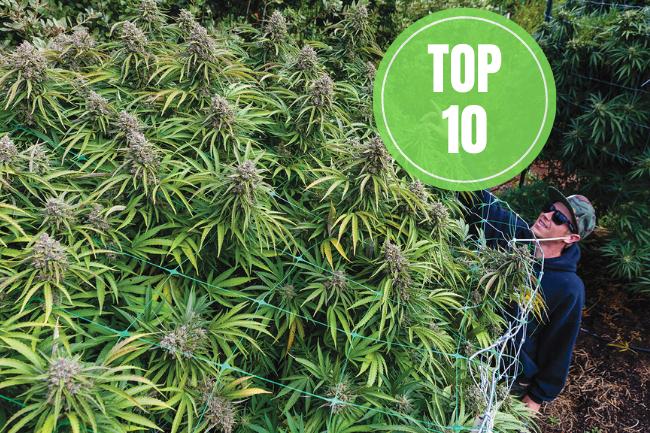 highest yielding strains