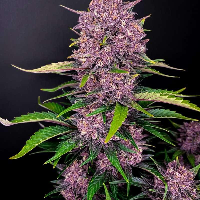 purple lemonade strain