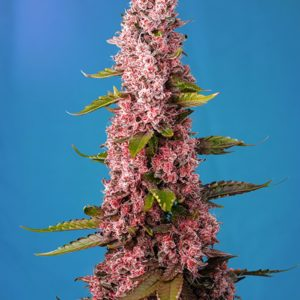 red hot cookies strain